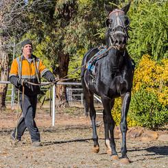 Breaking In of Horses at Clarinda Park Horses