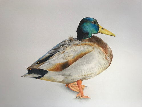 Mallard Duck Print