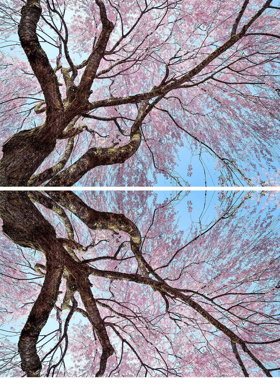 Cherry Blossom Tree Fractal.png