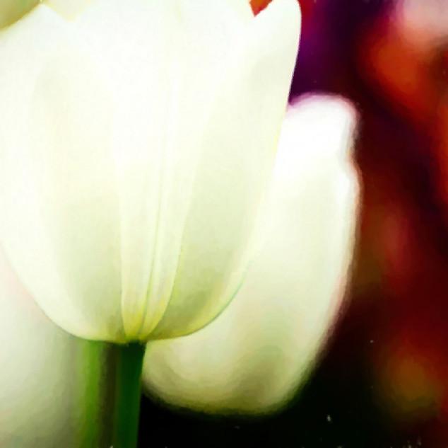 "'White Tulips"" Lisse, Netherlands"