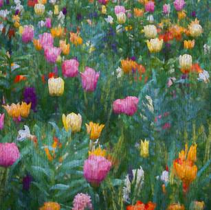 """Colorful Tulip Field"" Keukenhof Gardens Lisse, Holland"