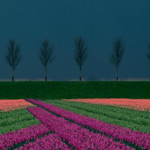 """Vibrant Tulip Rows"" Hoorn, Holland"