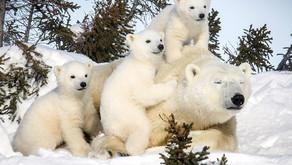 Путешествие к белым медведям