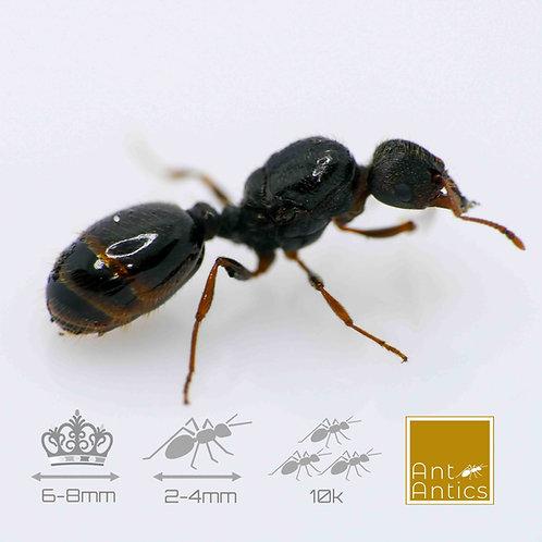 Tetramorium Caespitum - Pavement Ant