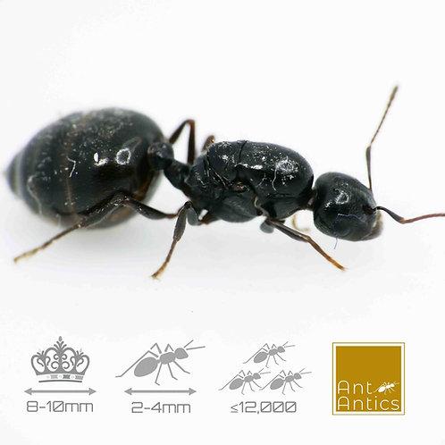 Crematogaster Auberti - The Valentines Ant