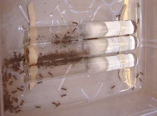 simple_tube_ant_colony_aphaenogaster_edi