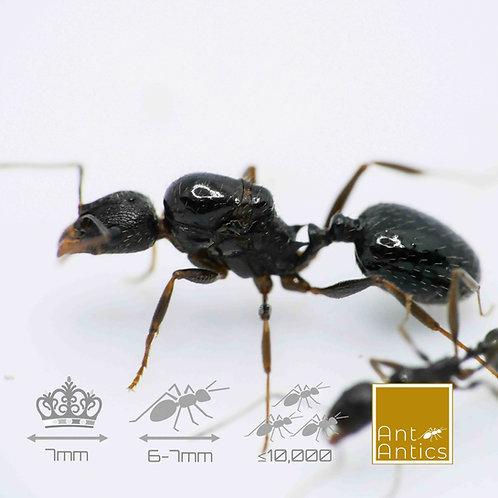 Aphaenogaster Gibbosa