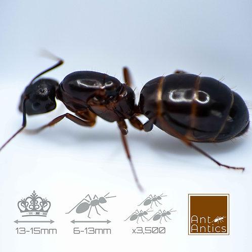 Camponotus Slyvaticus - Carpenter