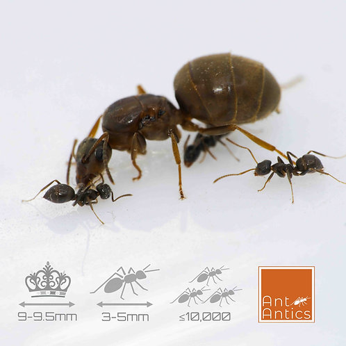 Lasius Grandis - The Southern Garden Ant