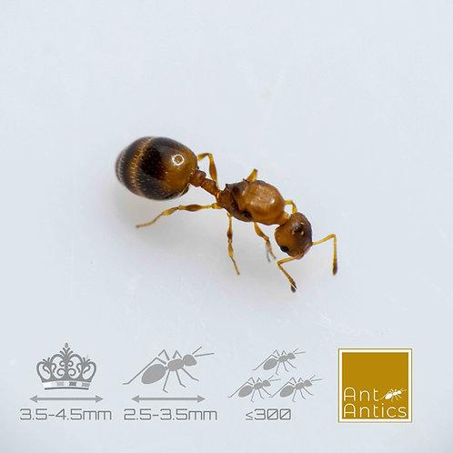 Temnothorax Unifasciatus - Acorn Ants