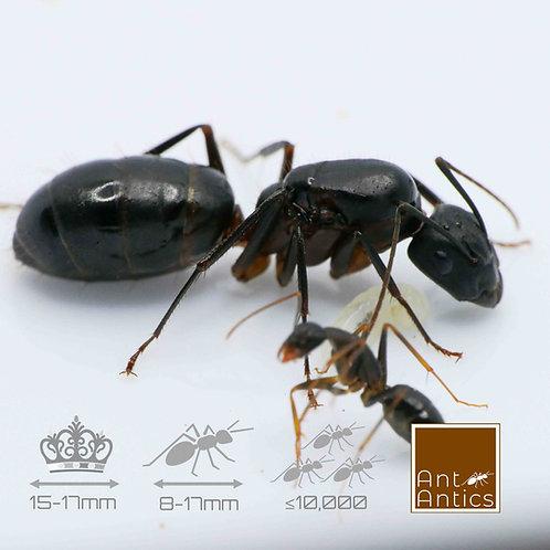 Camponotus Barbaricus  - Carpenter