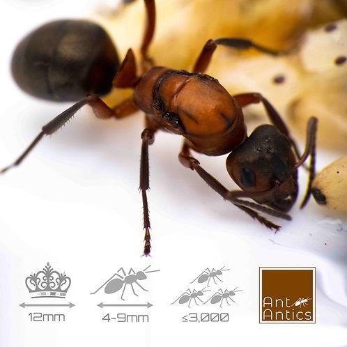 Formica Sanguinea - Slave Maker Ant