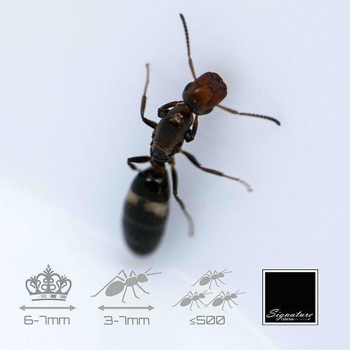 Colobopsis Truncata - EU Doorkeeper Ant
