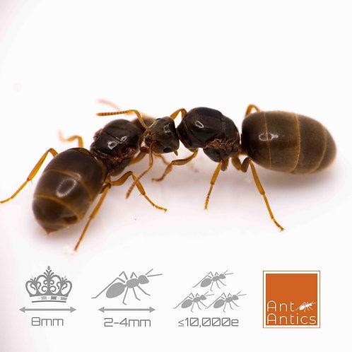 Yellow Meadow Ant - Lasius Flavus
