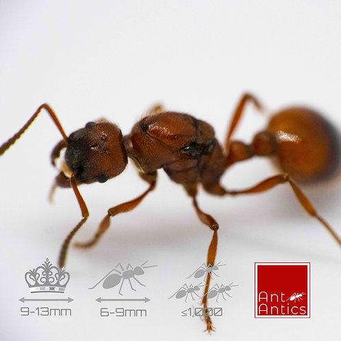 Manica Rubida - EU Fire Ants