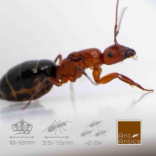 Camponotus Discolor - Carpenter
