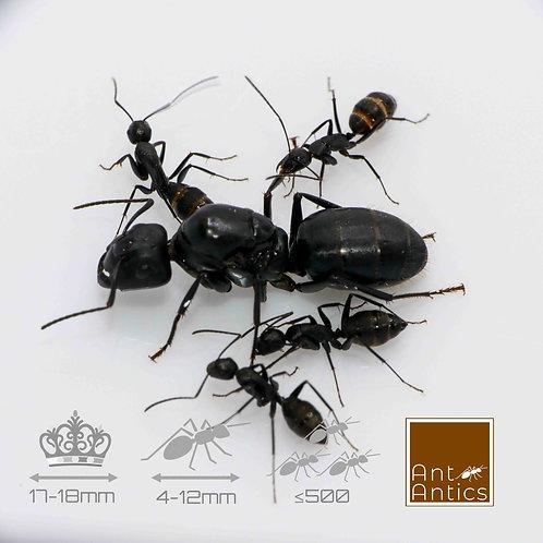 Camponotus Japonicus - Carpenter