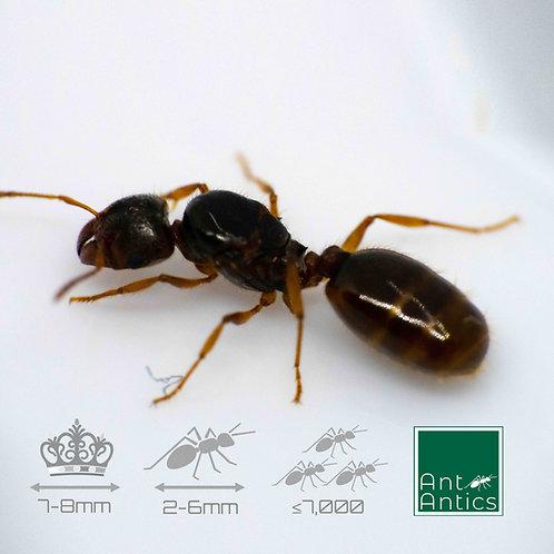 Pheidole Pallidula - Big Headed Ants