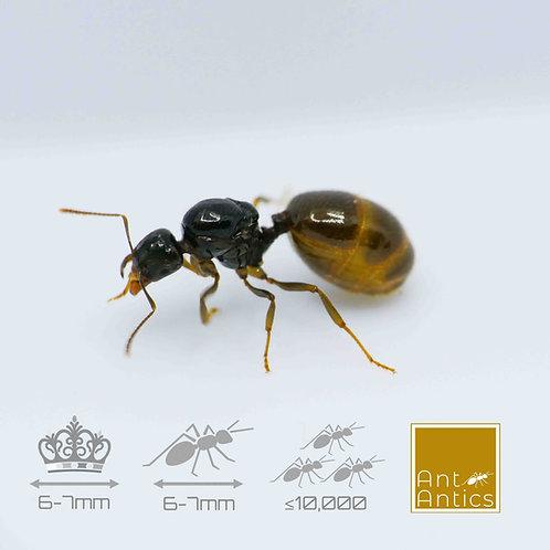 Aphaenogaster Dulcineae