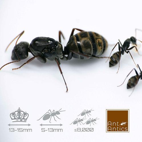 Camponotus Cinctellus - Shiny Sugar Ant