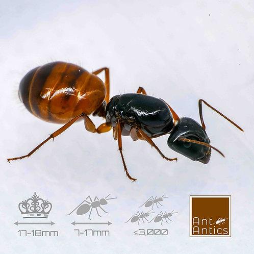 Camponotus Sansabeanus - Carpenter