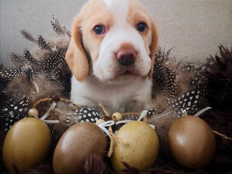 Der ABC wünscht allen Beaglefreunden FROHE OSTERN!