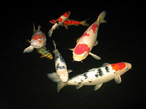 Pond Fish Care