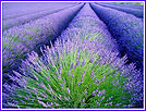 lavender-row.frame.jpg