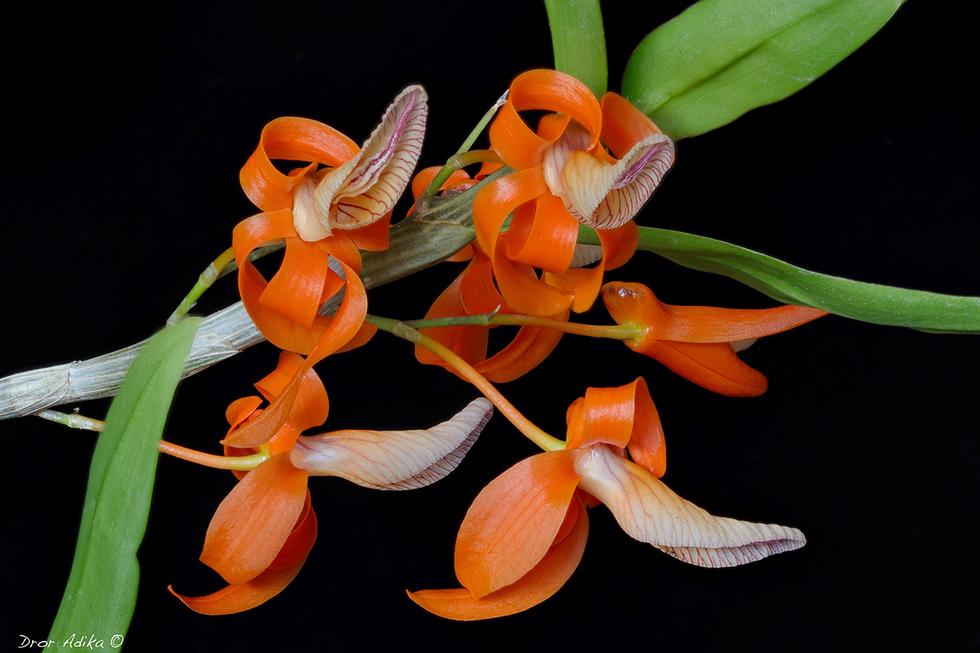 Dendrobium unicom