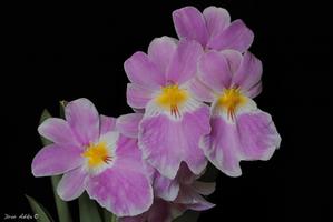 Miltonlopsis vexillaria