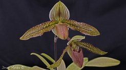 Paph. Iantha Stage
