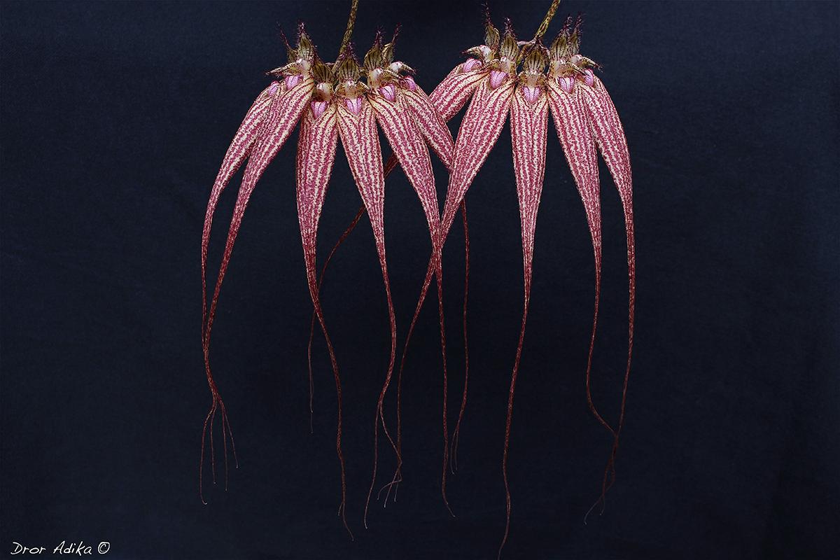 Cirrhopetalum Elizabeth Ann 'Buckleberry