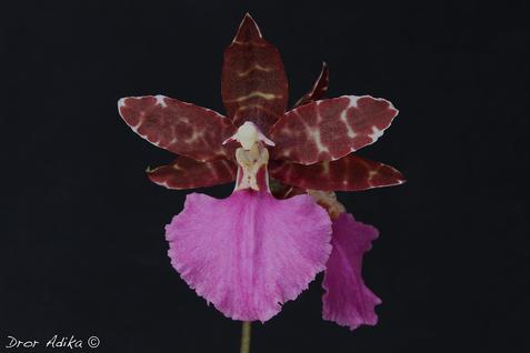 Odontoglossum Violette von Holm 'Bianca