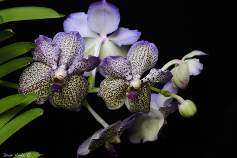Vanda Moonlight Blue
