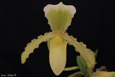 Paphiopedilum Lady Light (insigne var. s