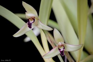 maxillaria marginata
