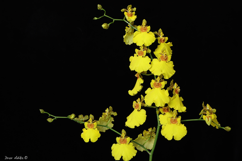 Oncidium Gower Ramsey