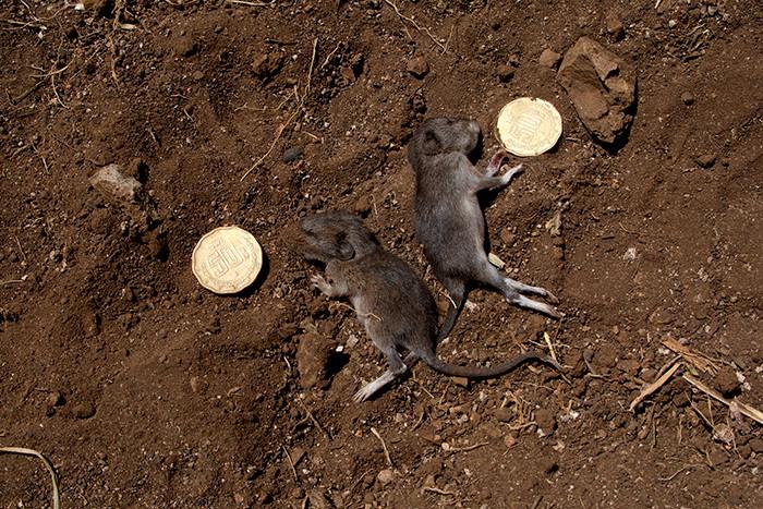 Ratones muertos con centavos/Dead Mice with Centavos