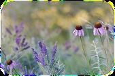 Cone flower prairie soft edge.png