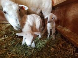 Katahidin lamb