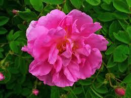 Rose (Rosa damascena) flower