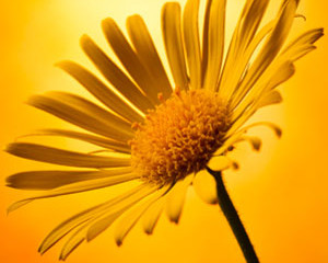 All About Arnica