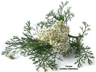 Yarrow- Achillea millefolium