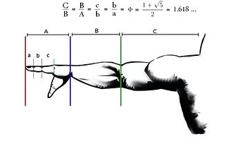 golden ratio human body.jpg