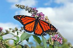 monarch-blue-sky-zinnia-linda-konz.jpg