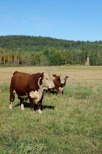 bulls 2.JPG