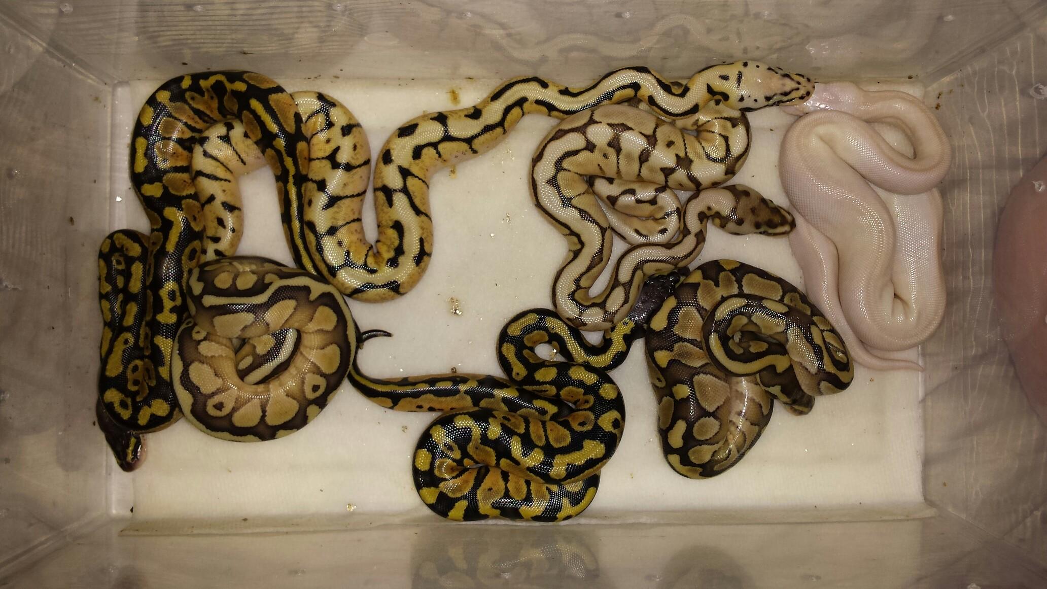 Baby ball pythons