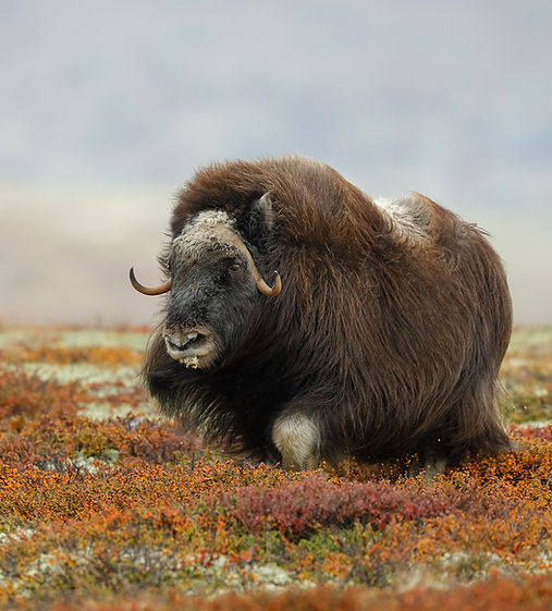 greenland photography travel musk oxen