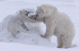 Polar bear eisbär expedition photography