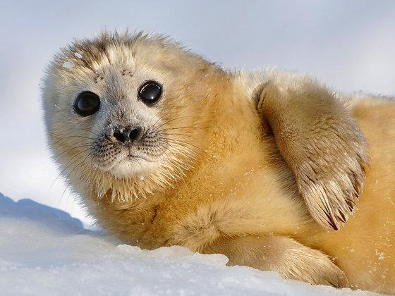 "Fine art print ""Baby seal"""